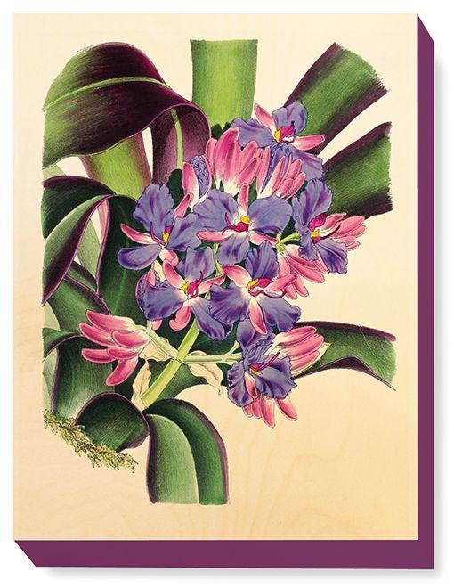 FLW 030 Vintage Flower illustration Cochliostema Odoratissima