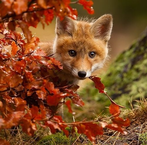 Un automne et un hiver à grandir jusqu'à l'éclosion du printemps.  (Photo: Red fox by Robert Adamec)
