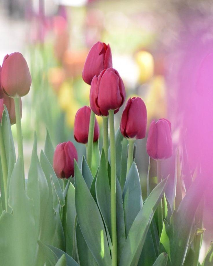 Funabashi Andersen Park, Chiba, Japan, flower, garden, tulip