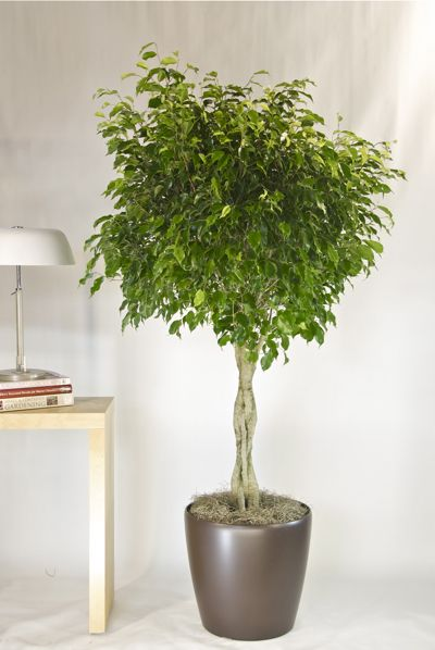 Ficus benjamina from houston interior plants i trust for Ficus planta interior