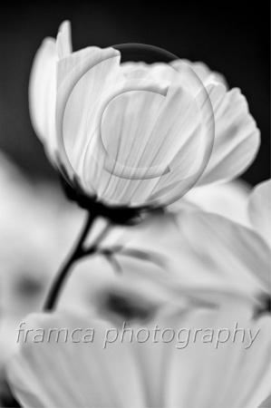 Cosmos flower  framcaphotography.com