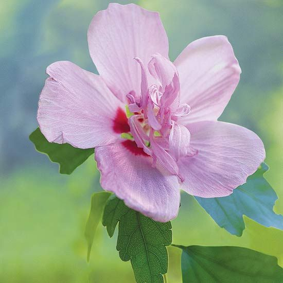 Rose of Sharon: Hummingbirds Favorit, Hibiscus Syriacus, Full Sun, Flower Shrubs, Summer Bloom Shrubs, Roses Of Sharon, Rose Of Sharon, Beauty Flower, Gardens Plants