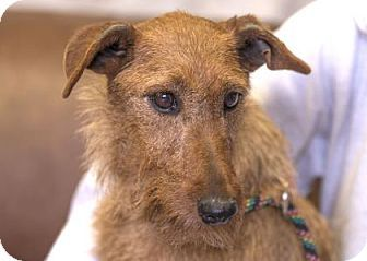 08/13/2017 Adopt Tulip a sweet shy at first then loving Irish Terrier for adoption in Colorado Springs, CO. Gets on well with other dogs, prefers a calm environment, quite laid back.