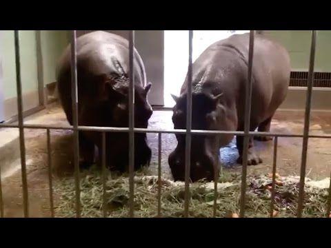Hippo Eating Watermelon   Most Amazing Crocodile   Animal Video Lion # 6