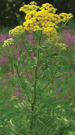 Tansy is another little known herb that repels flies, ants,fleas, moths, and mice. Its flowers resemble marigolds or yellow Bachelor's Buttons and it makes a great foundation planting.
