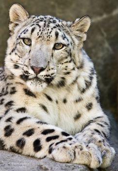 Snow Leopard (35 pieces)