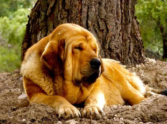 Descubre cuáles son las razas de perros más tranquilos
