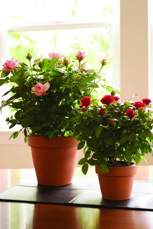 """Mini Rose Bush Care:   Fertilize in early spring, after last & after pruning. Use an even 10-10-10 or 12-12-12 ratio at 1/2 recommended strength every 3 weeks. If outside give more fertilizer: (photosynthesis in direct sunlight).  Use high phosphorus fertilizer 2 weeks after 1st leaf buds emerge.  Outside: 6 weeks before 1st frost, stop fertilizer & reduce water. If temp below 0, add 1-2"""" mulch to base.  Inside: they need a cool/cold period so they rest.  Prune: mid-winter/early spring"""