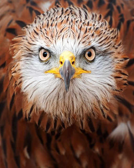 Red Kite by Andrew Withey via Flickr. Kites are raptors that acquire their names because of their ability to use the wind currents to their advantage as they soar in hunt of prey.