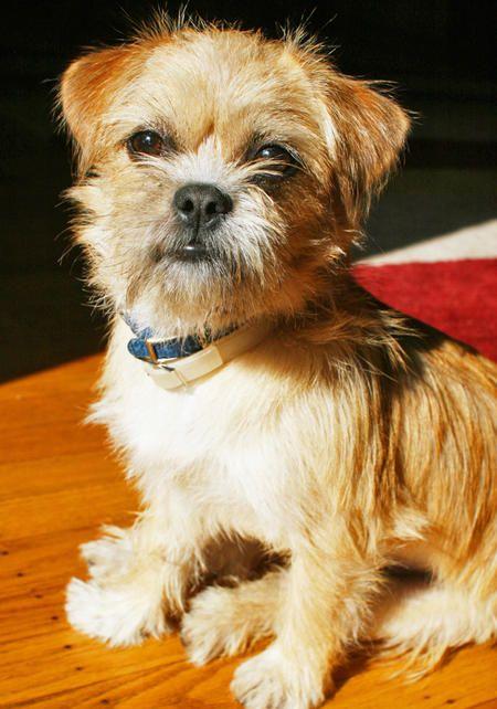 Looks a lot like my Beau-a border terrier mix