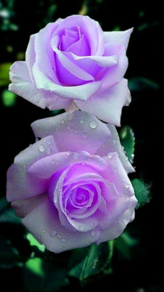Pin By Kate Eyiche On Sahara Fah Beautiful Rose Flowers Beautiful Roses Beautiful Flowers Fantastic flower flower wallpaper