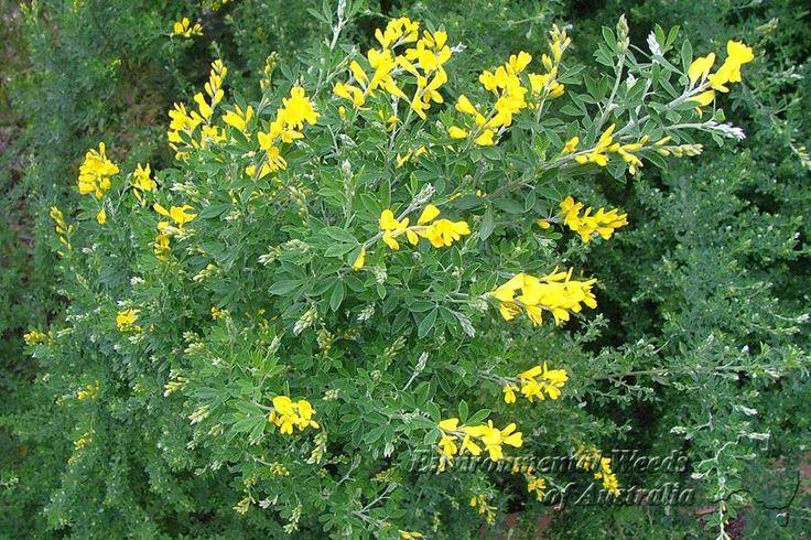 Genista cultivars schijnbrem