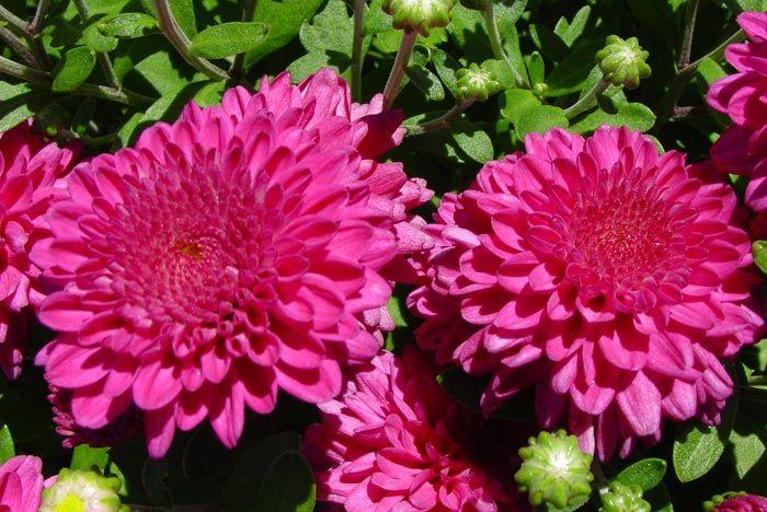 Extravaganza Fantasy Chrysanthemum multiflora