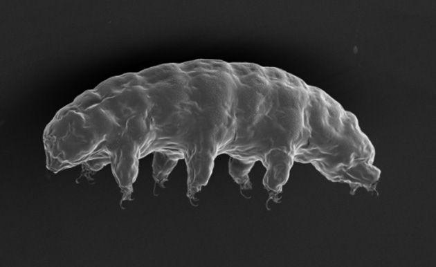 Bärtierchen-Erbgut macht auch menschliche DNA widerstandsfähig gegen Strahlung . . . http://www.grenzwissenschaft-aktuell.de/baertierchen-erbgut20160923