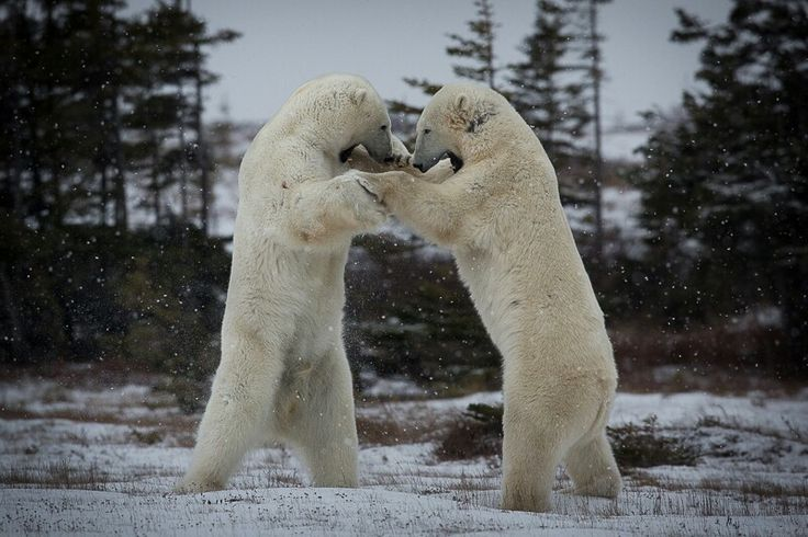 Polar bear fight!