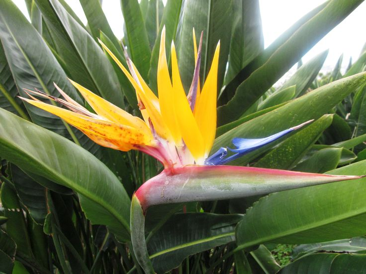 Image result for bird of paradise botany