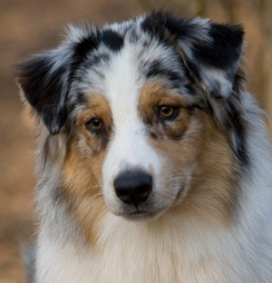 Is it odd that I've wanted a herd of herding dogs for longer than I can remember? Blue merle aussies on the brain today.