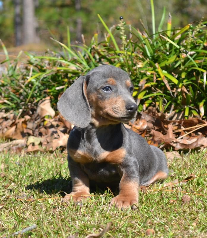 Dachshund Puppies For Sale & Breeders | Down Home Dachshunds