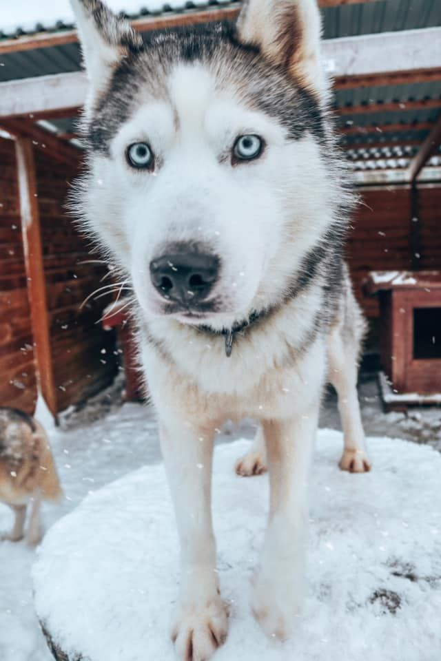 Dog Sledding In Sweden Book Your Adventure Today With Images