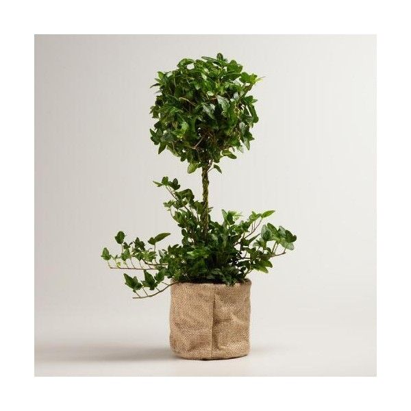 Cost Plus World Market Live Ivy Topiary Plant in Burlap ($50) ❤ liked on Polyvore featuring home, home decor, floral decor, burlap home decor, cost plus world market and ivy topiary