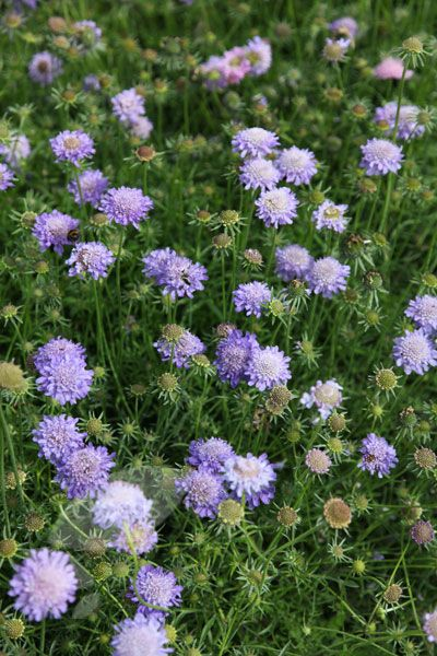 Buy pincushion flower Scabiosa 'Butterfly Blue': Delivery by Crocus