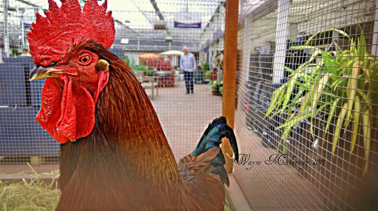 A Fine Cock