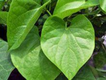 The Ayurvedic Plant Guduchi or Giloy