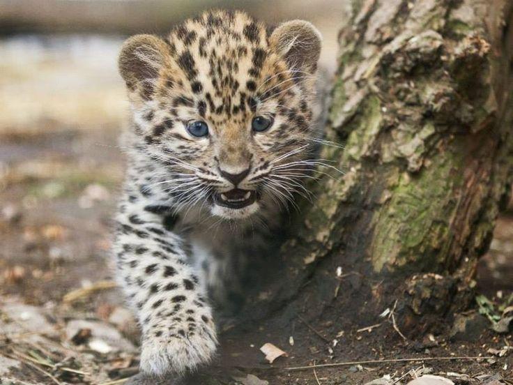 Amur Leopard cub  http://www.zooborns.com/zooborns/2014/03/update-prague-zoo-amur-leopards.html