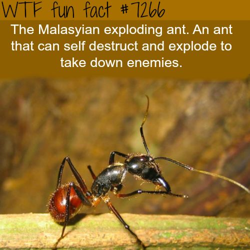 Suicide ants - WTF fun fact