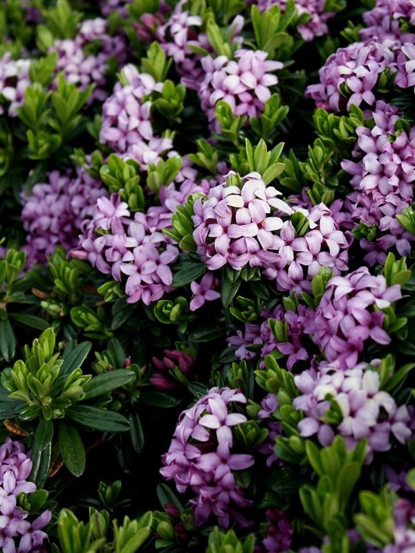 Daphne - sweet-smelling shade garden color option. I remember it growing wild at 1100 m above sealevel : Wildhaus CH