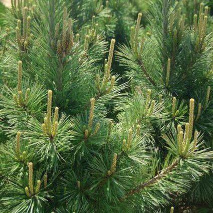 Austrian Pine Close Up