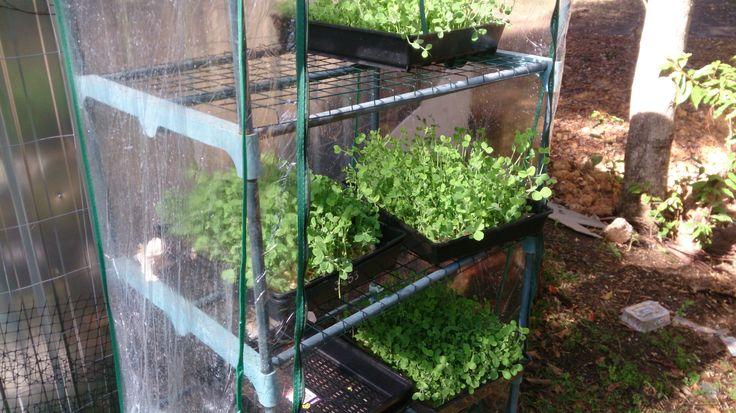 Fresh Pea Microgreens growing at Marty's Micro Farm in Byron Bay Australia