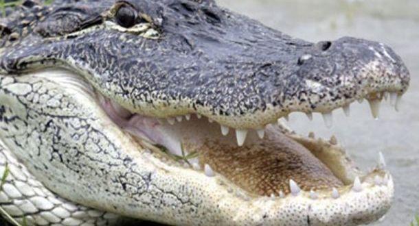 Λουιζιάνα: Ξεναγός ταΐζει με μαρσμελοους αλιγάτορα - Verge