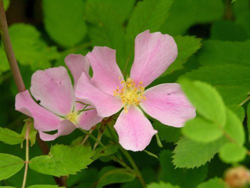Rosa gymnocarpa--bald-hip rose -- native rose -- from portlandnursery.com--wallacehanson_ros_gym500