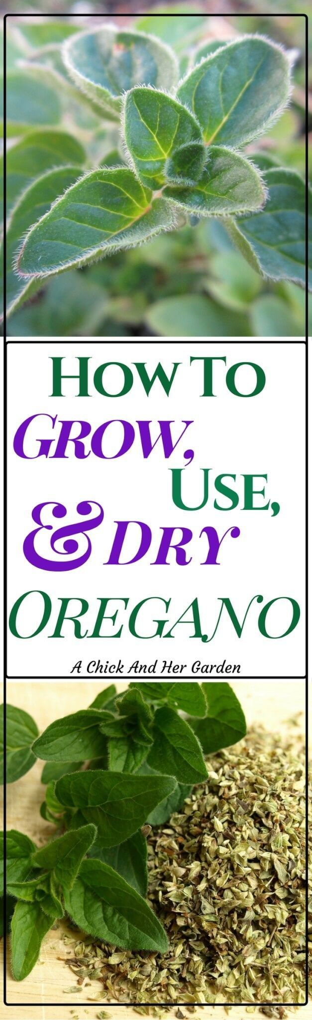 Oregano is not only an awesome addition to our food, but also has baffling health benefits! Check out how to grow oregano and why you should! #herbgarden #gardening #growingherbs #foodpreservation