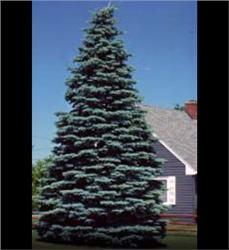 "White Spruce - Picea glauca height of 40–60' and a spread of 10–20' at maturity. grows up to 24"" per year"