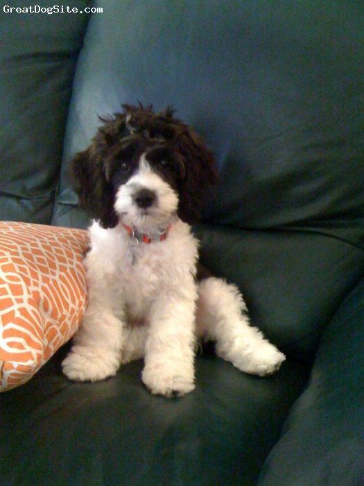 Cockapoo, 7 months, Black-n-white Parti, Black-n-white Parti Cockapoo puppy