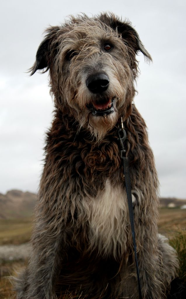 photos of irish wolfhound 25 b 228 sta quarterh 228 star id 233 erna p 229 pinterest svarta 7425