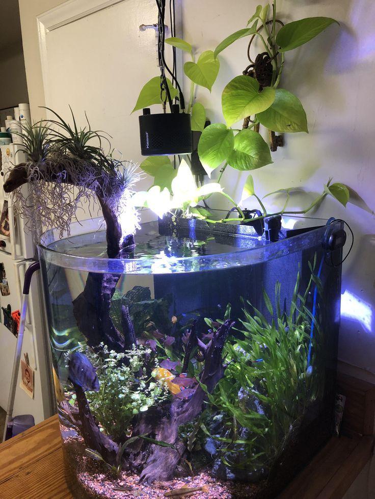 Lovely Use Of Air Plants Discus Tank Fish Tank Plants Discus Aquarium