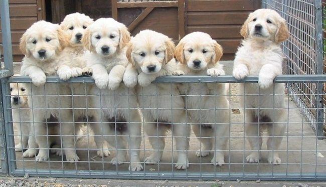 white golden retriever puppies for sale in scotland Zoe