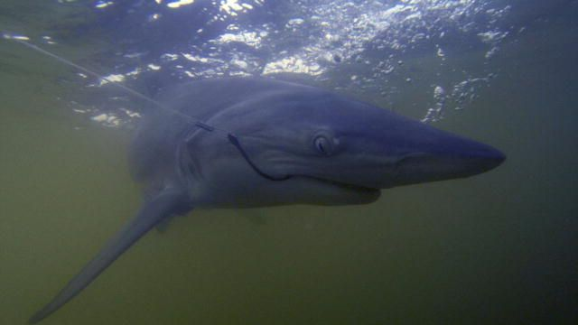 Shark Week: Searching for the Voodoo Shark : Video : Discovery Channel