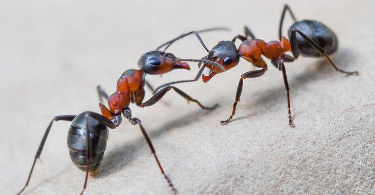die besten 20 ameisen ideen auf pinterest ameise handwerk hausmittel gegen ameisen und. Black Bedroom Furniture Sets. Home Design Ideas