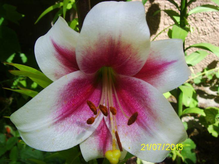 Lily Triumphator