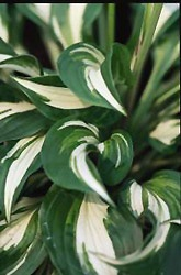 """White-variegated hosta (Hosta undulata """"Albomarginata"""")"""