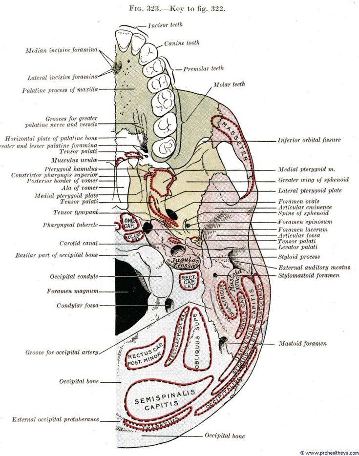 33 best Skull images on Pinterest | Human anatomy, Anatomy and Medicine