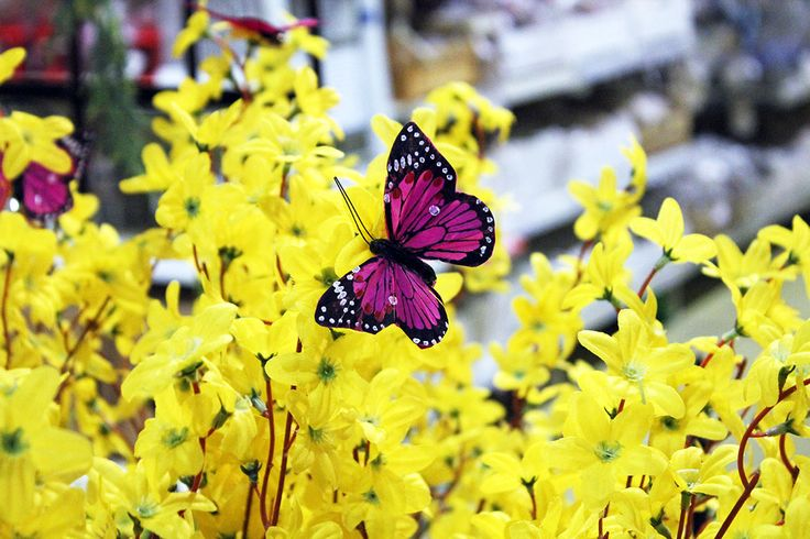 #Farfalla su #Forsythia gialla.