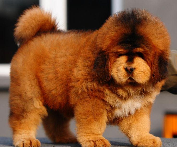 Tibetan Mastiff for Sale | Red Lion Head Tibetan Mastiff Puppies For Sale - Puppy8 2m M Pic2 L