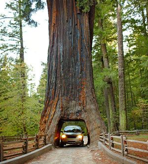 Drive Through a Redwood:  To see just how dwarfing nature can be, try this trio of redwoods off Hwy 101 in Northern California.  -- Klamath Tour-Thru Tree: Take the Terwer Valley exit in the town of Klamath.  -- Shrine Drive-Thru Tree: Take Ave of the Giants exit near the town of Myers Flat.  -- Chandelier Tree in the Drive-Thru Tree Park: Follow signs off Hwy 101 in Leggett