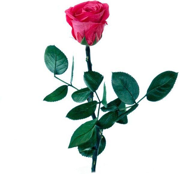 En San Valentín no tienes excusa: Enviar flores a domicilio nunca ha sido más fácil. Rosa eterna fucsia