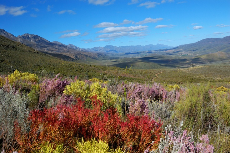 fynbos (indigenous wild flowers and scrub) found in the Western Cape.